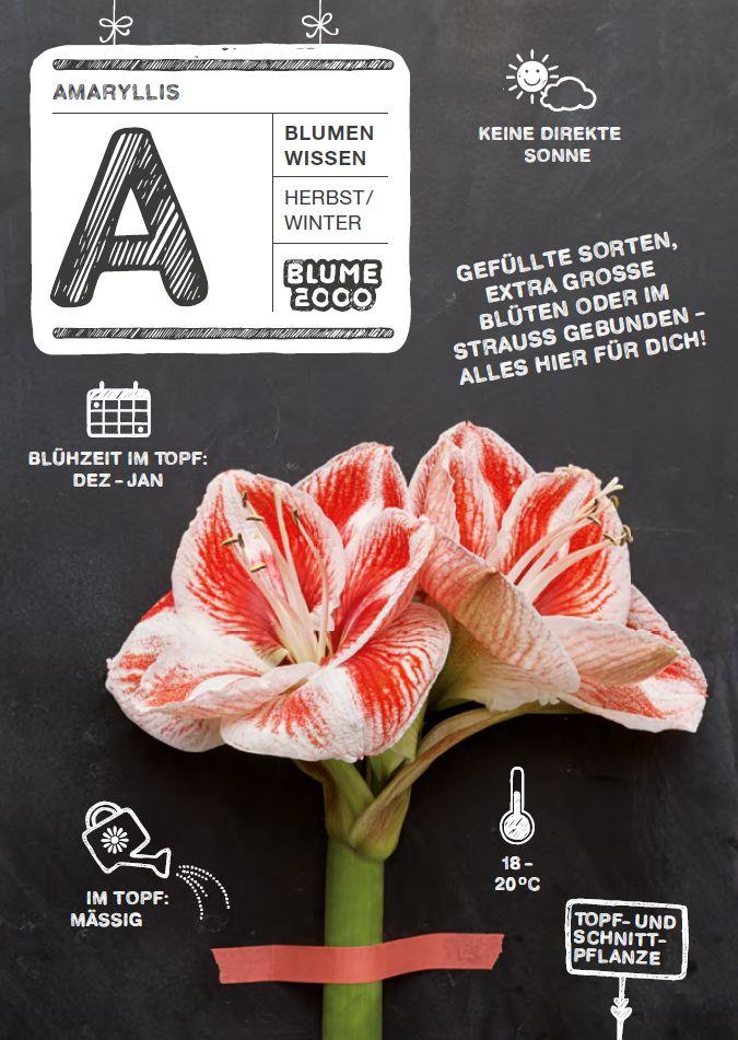 Blumenpflegetipps Amaryllis