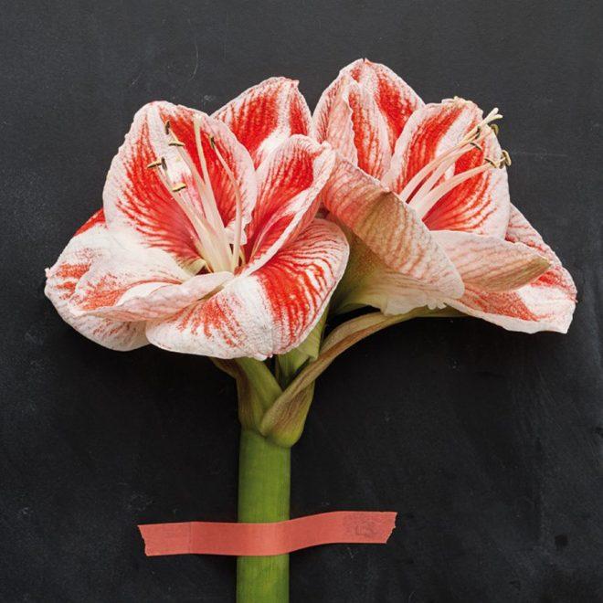 Amaryllis gibt es in vielen Formen und Farben. Sie sind wunderschön der dunklen Jahreszeit, sowohl im Topf als auch als Schnittblume.