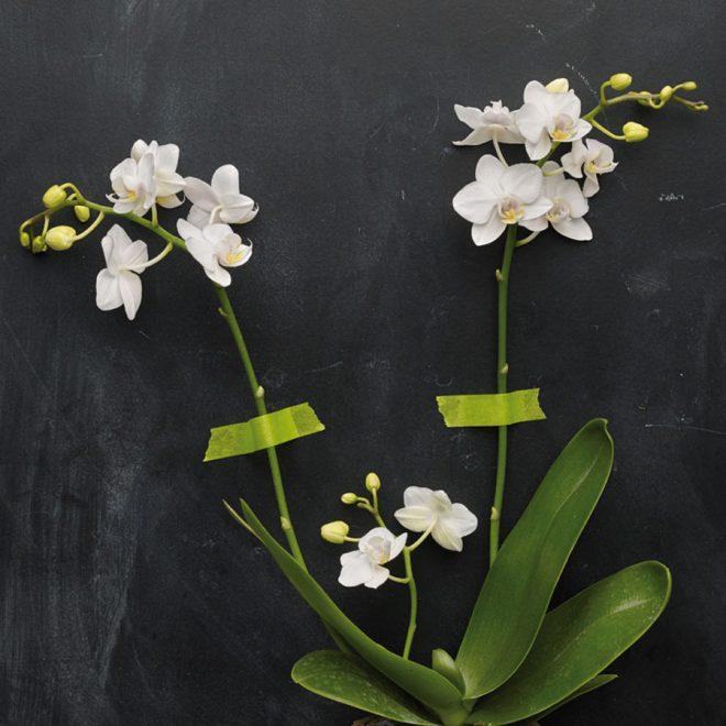 So erstrahlen deine Orchideen in voller Blüte.