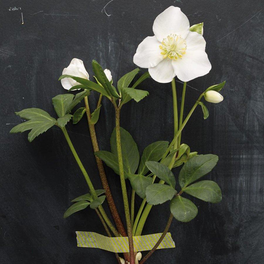 Die Christrose hält Wind und Wetter stand und ist dabei noch eine wunderbar zierliche Pflanze.