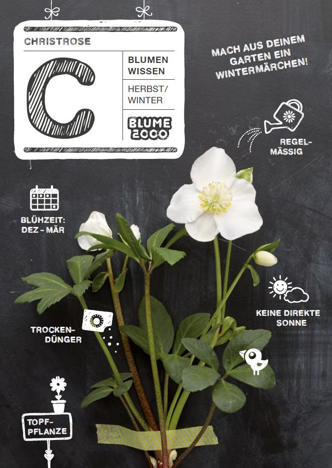 Pflanzenpflege - Christrose