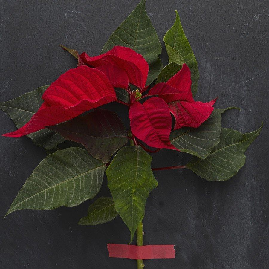 Keine Pflanze gehört so sehr zu Weihnachten, wie der Weihnachtsstern. Ob klassisch rot oder in rosa oder weiß. Diese Pflanze macht Lust auf Weihnachten.