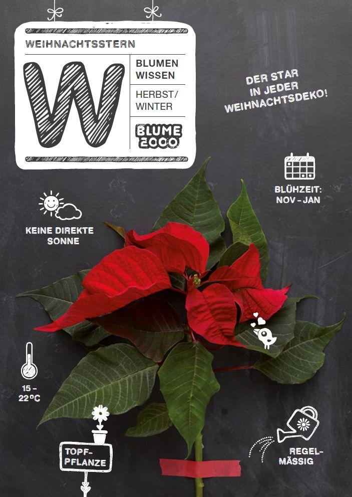 Pflanzenpflege - Weihnachtsstern