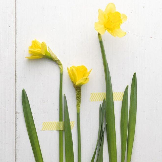 Narzissen oder Osterglocken sind farbenfrohe Frühlingsboten.